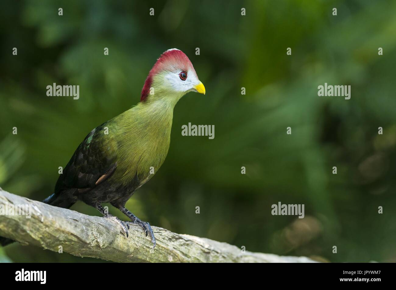 Red-crested Turaco (Tauraco erythrolophus) on a branch, Angola - Stock Image