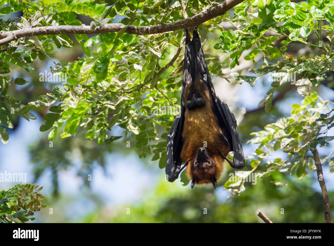 Indian Flying-fox (Pteropus giganteus) suspending, Yala national park, Tissamaharma, Sri Lanka - Stock Image