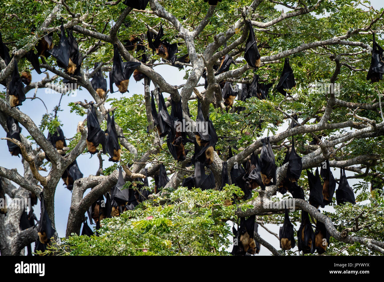 Indian Flying-fox (Pteropus giganteus) group suspending, Yala national park, Tissamaharma, Sri Lanka - Stock Image