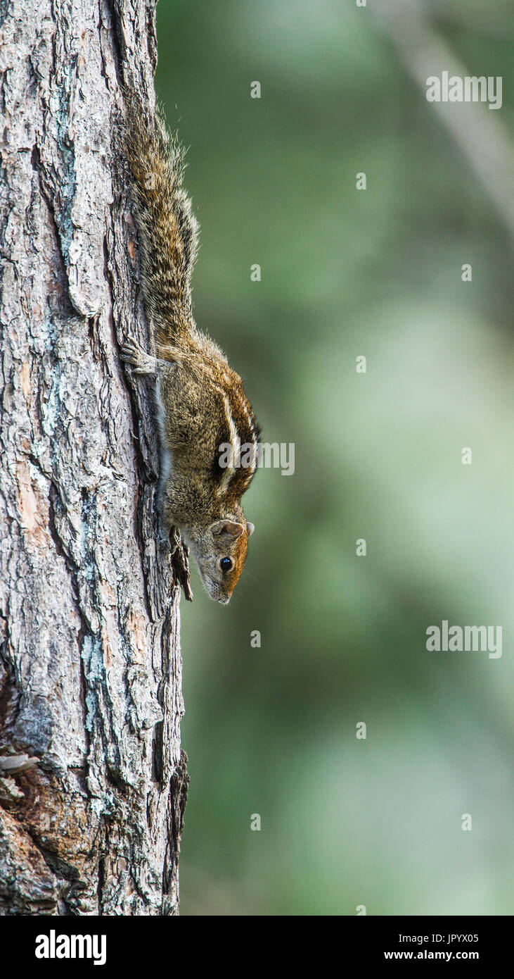 Indian palm squirrel (Funambulus palmarum) on a trunk, Ella, Sri Lanka - Stock Image