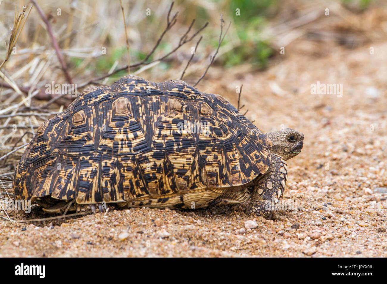 Leopard tortoise (Stigmochelys pardalis), Kruger National park, South Africa - Stock Image