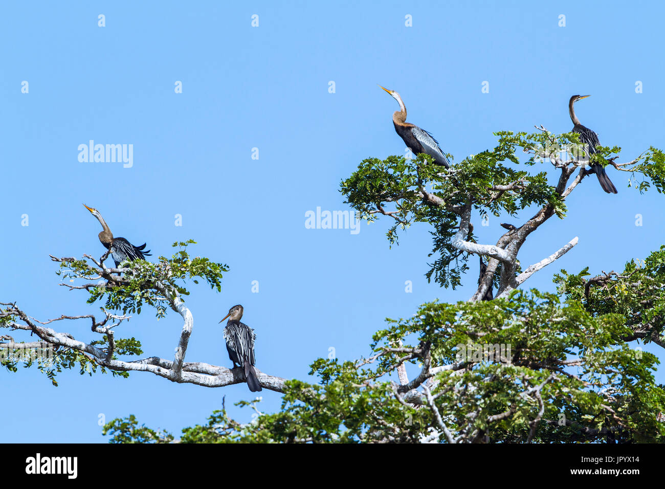 Oriental Darter (Anhinga melanogaster) on a tree, Tissa wewa, Yala national park, Sri Lanka - Stock Image