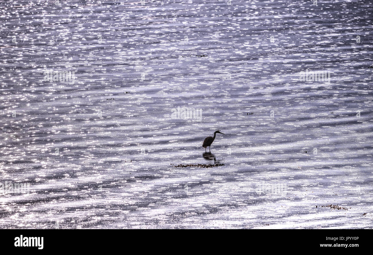 A grey Herron, wading in shallow water, looking for fish - Stock Image
