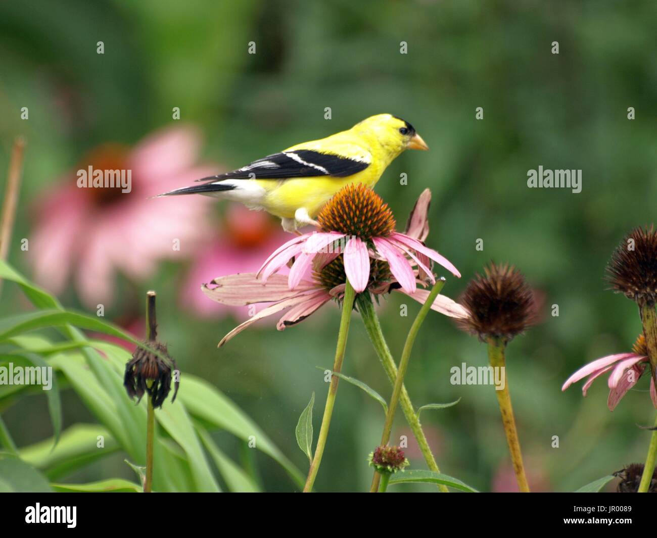 Brilliant goldfinch perched on pink cone flower stock photo brilliant goldfinch perched on pink cone flower mightylinksfo