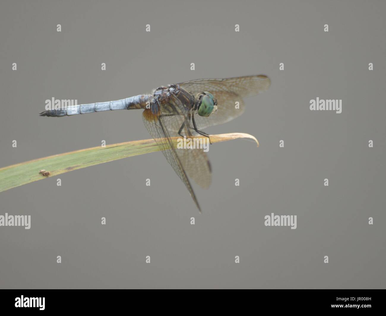 Single dragonfly resting on leaf tip Stock Photo