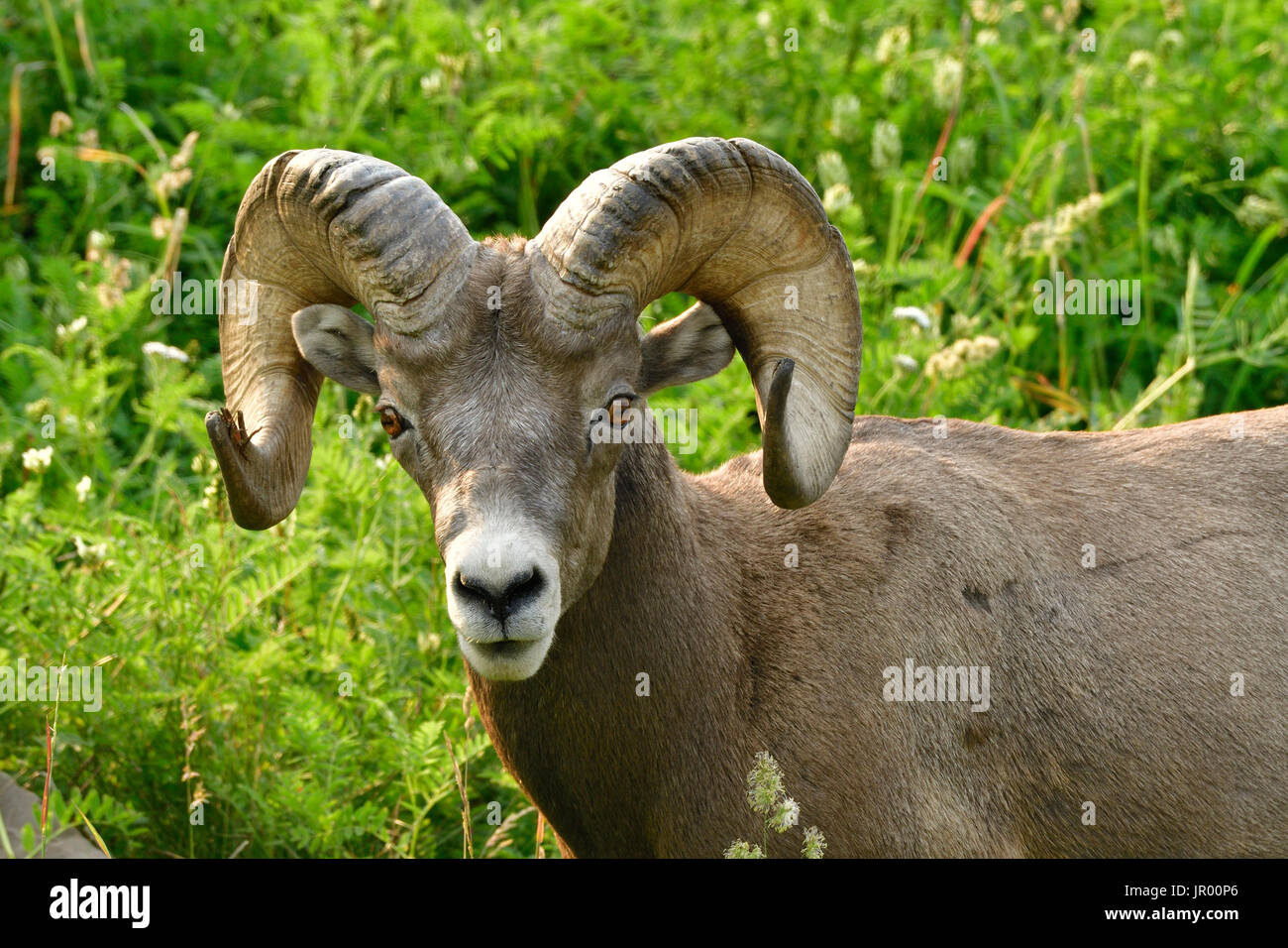 A portrait view of a wild Bighorn Sheep  'Ovis canadensis' standing in a field of green grasses and deep vegetation. - Stock Image