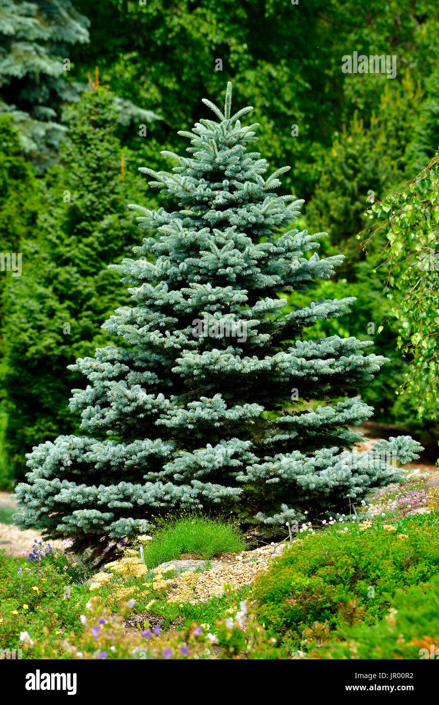 A blue spruce tree growing on the edge of a garden in rural Alberta Canada - Stock Image