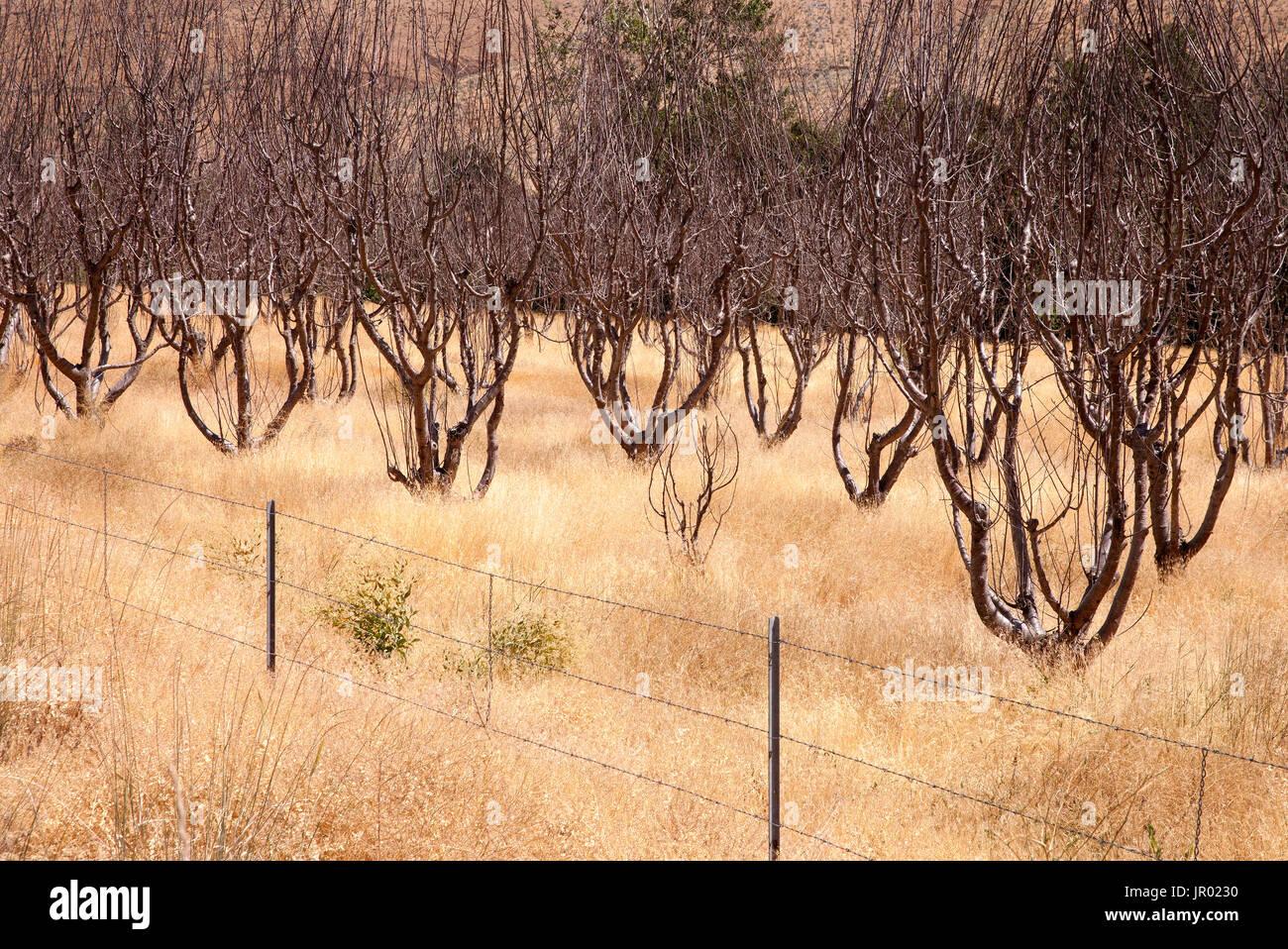 Parched Grove, Yakama WA. - Stock Image