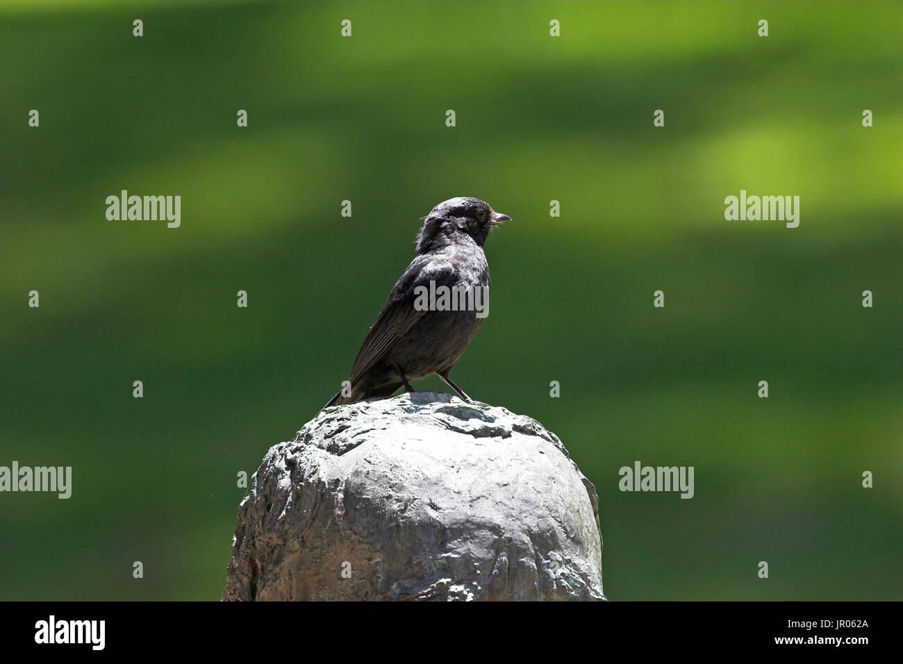 Southern black flycatcher Melaenornis pammelaina Durban Botanical Garden South Africa - Stock Image
