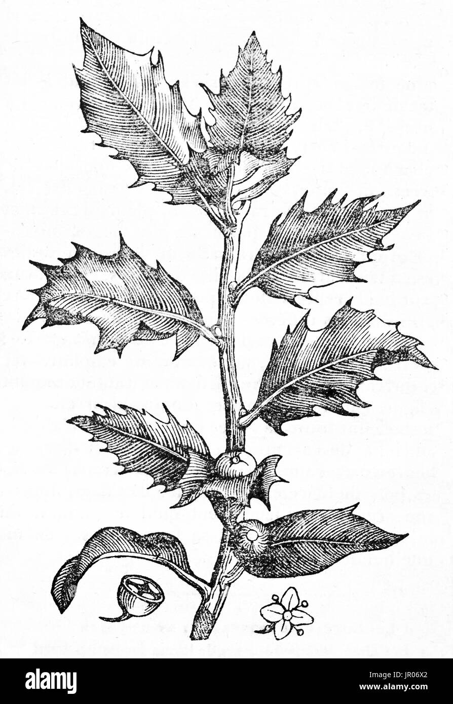 Old illustration of Holly (Ilex aquifolium). By unidentified author, published on Magasin Pittoresque, Paris, 1833. - Stock Image