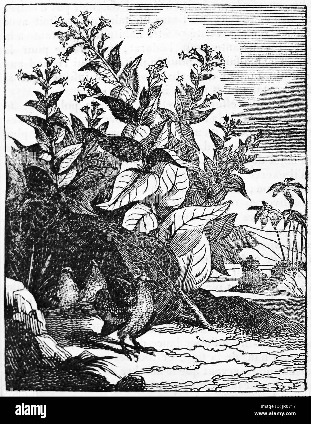 Old illustration of cultivated tobacco (Nicotiana tabacum). By unidentified author, published on Magasin Pittoresque, 1833. - Stock Image