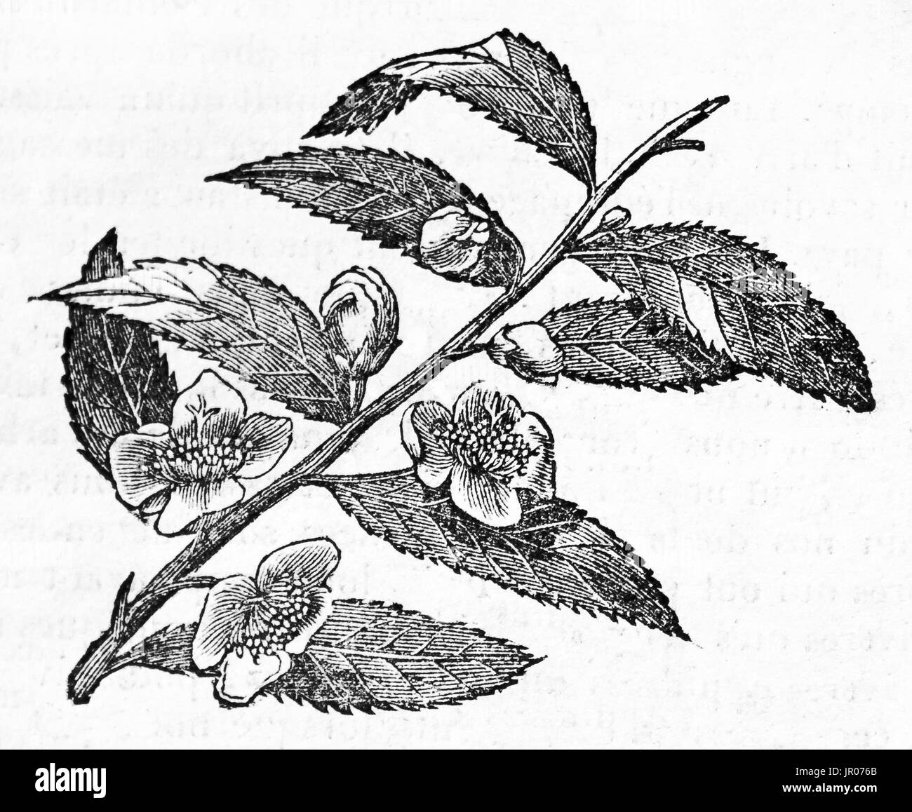Old illustration of a Tea sprig. By unidentified author, published on Magasin Pittoresque, Paris, 1833. - Stock Image