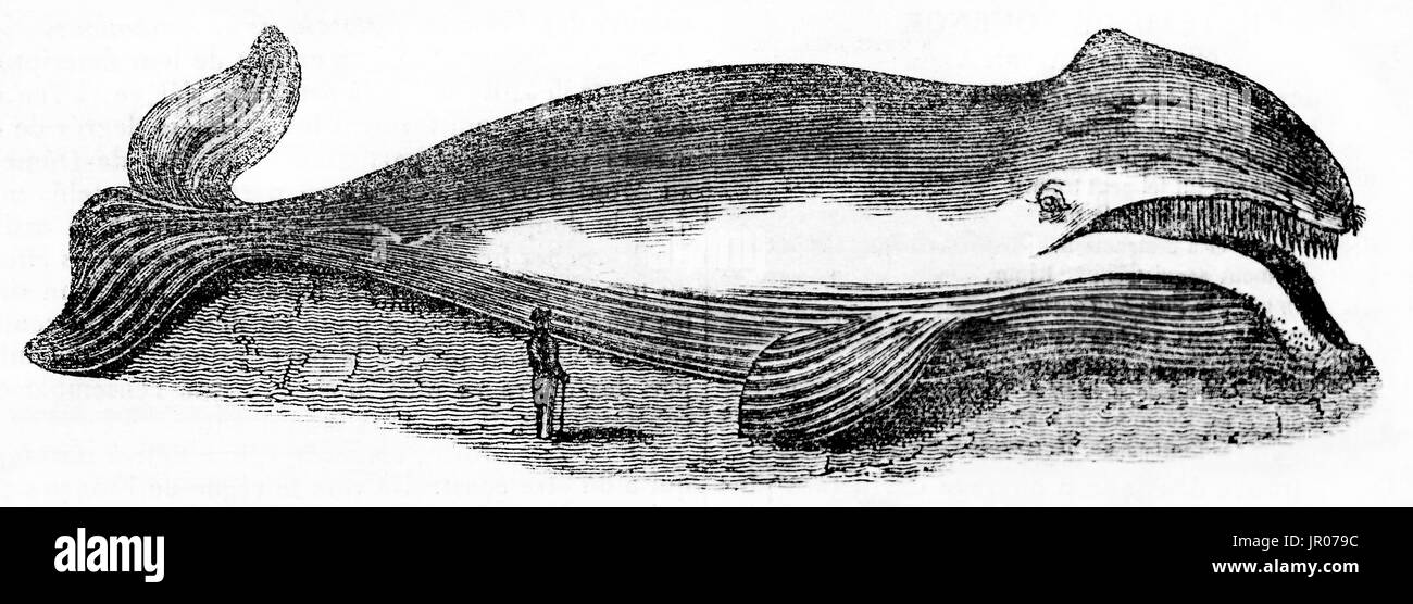 Old engraved illustration of Whale. By unidentified author, publ. on Magasin Pittoresque, Paris, 1833 - Stock Image