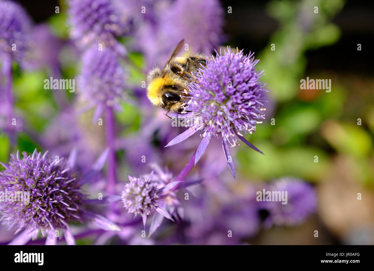 honey bee on flowering blue glitter sea holly type of plant - Stock Image