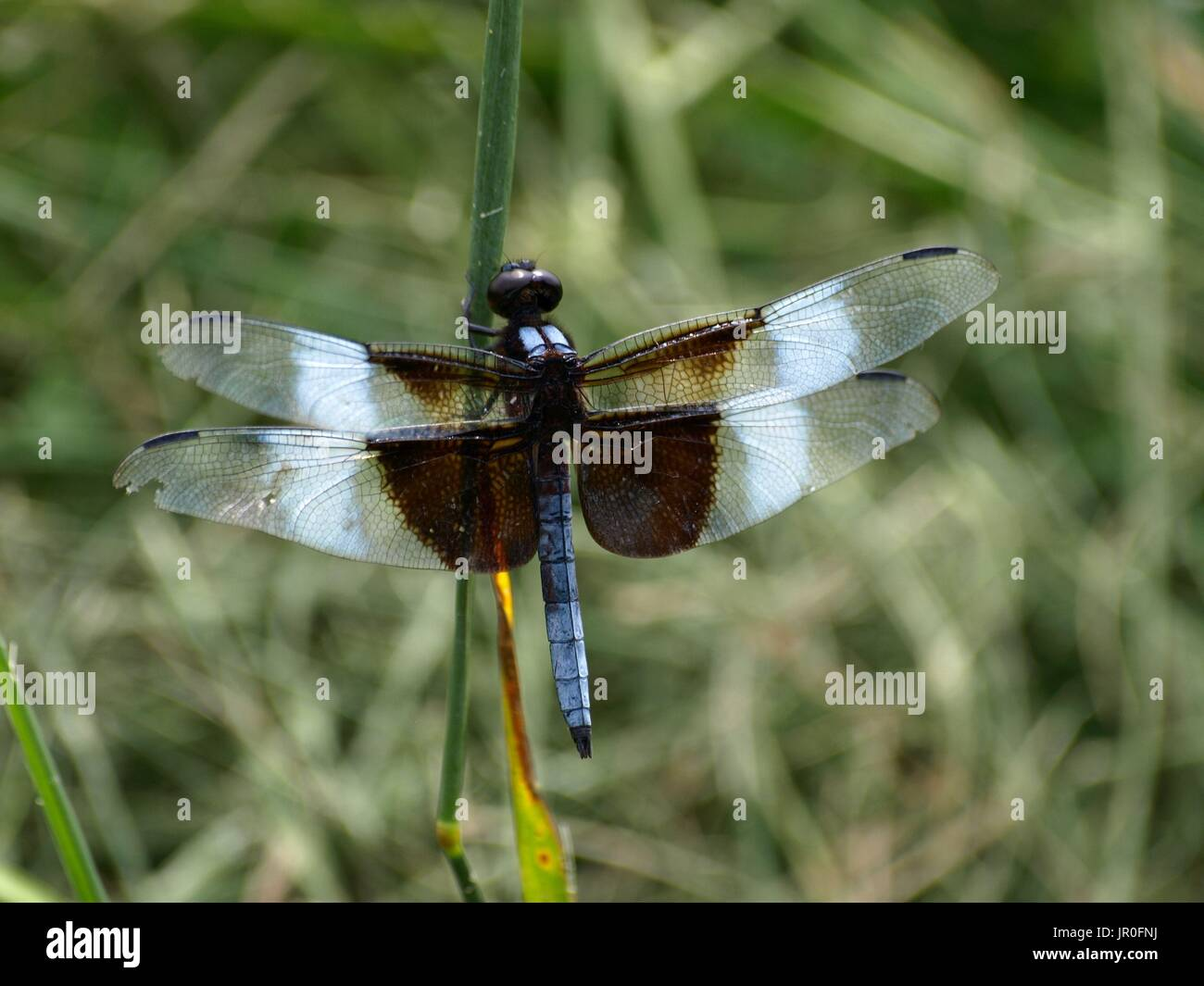 Dragonfly hugging green stalk - Stock Image