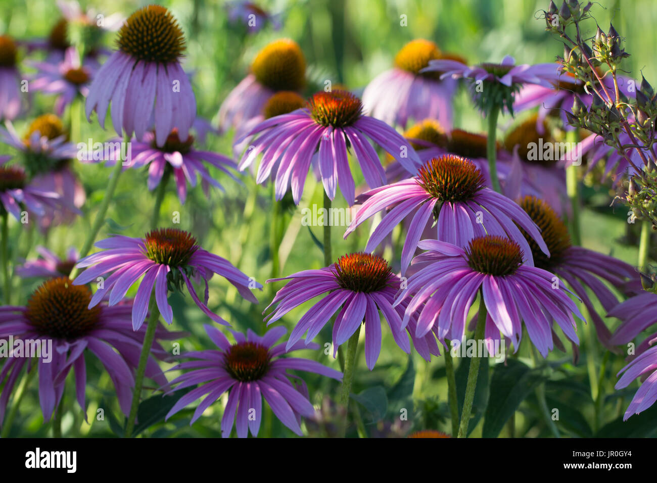 The purple coneflower is a native prairie flower of Iowa. It can be found in gardens and prairie restoration areas. - Stock Image