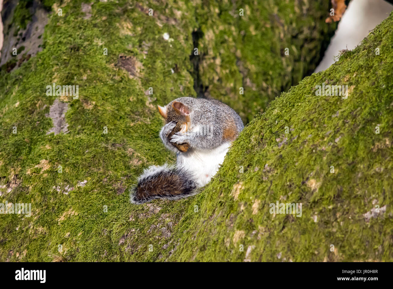 Squirrel sitting on a tree washing his face & whiskers Stock Photo