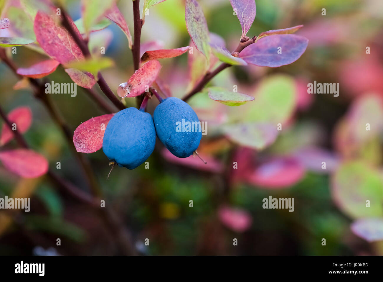 Close-Up Of Blueberries On A Lowbush Blueberry Plant (Vaccinium Angustifolium); Alaska, United States Of America - Stock Image