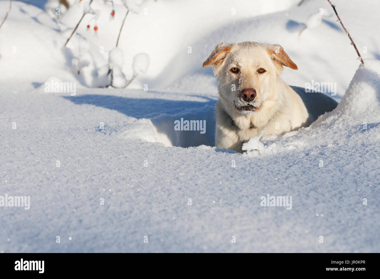 A Golden Labrador Retriever Lays In The Deep Snow Looking At The Camera; Alaska, United States Of America - Stock Image