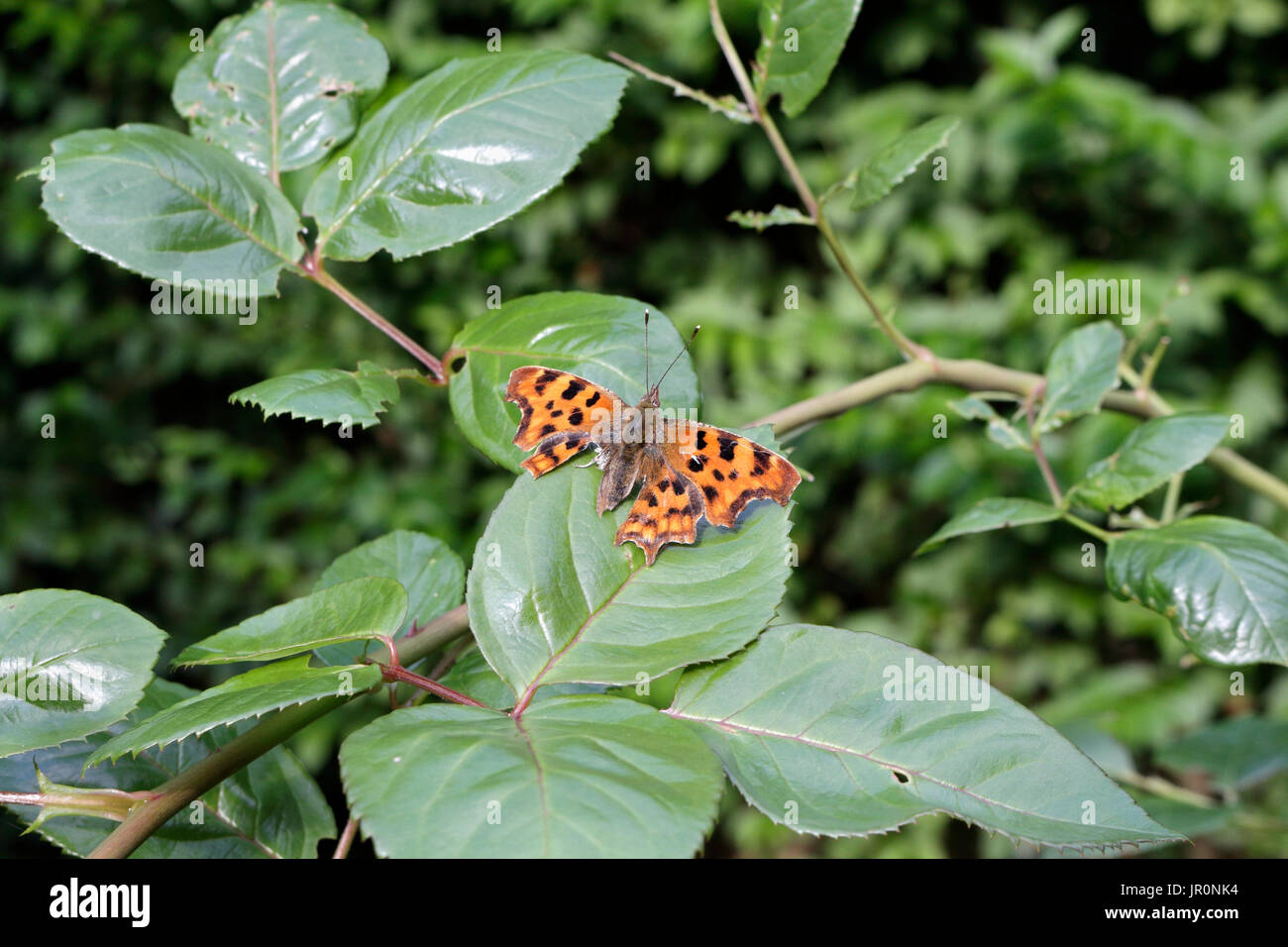 Comma butterfly with damaged rear wing - Stock Image
