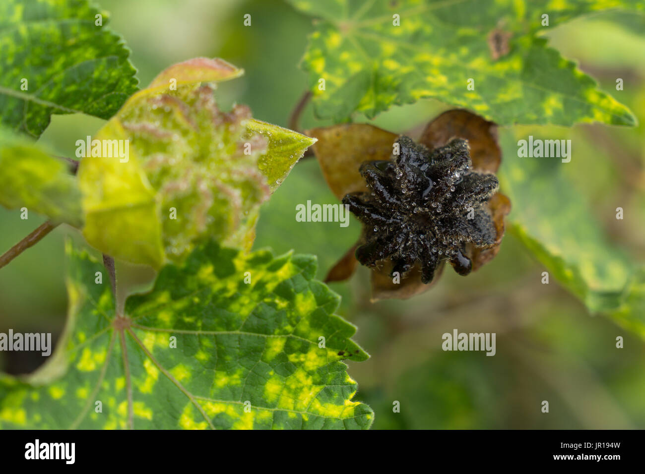 Early and late stage of Abutilon pictum seed pod development. Abutilon pictum 'Thompsonii', Chinese lantern, flowering Maple seed pod. - Stock Image