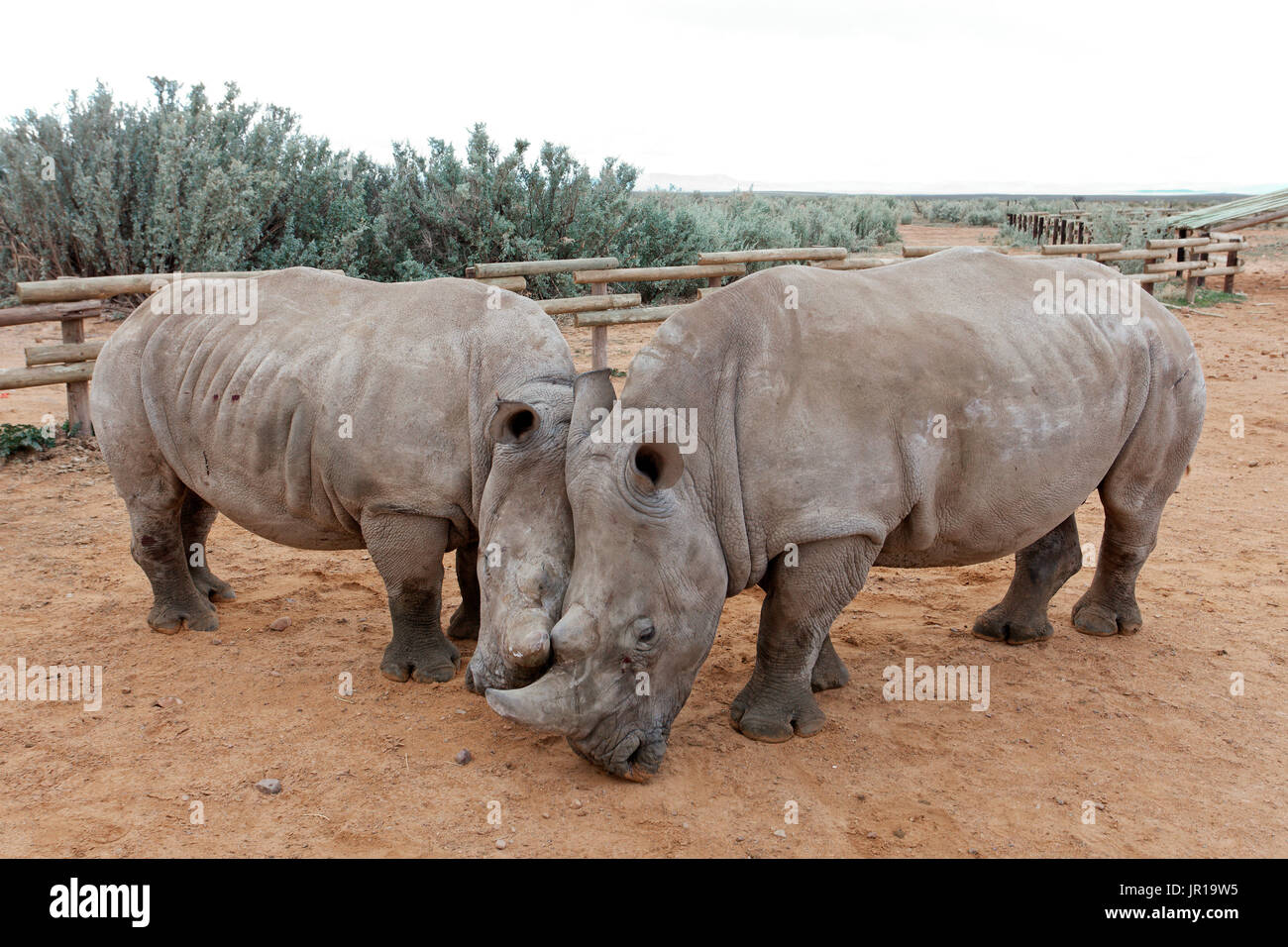 White Rhinoceros (Ceratotherium simum), Karoo Desert, South Africa. Private reserve of Inverdoorn known to recover sick animals and in the field of the fight against poaching in South Africa - Stock Image