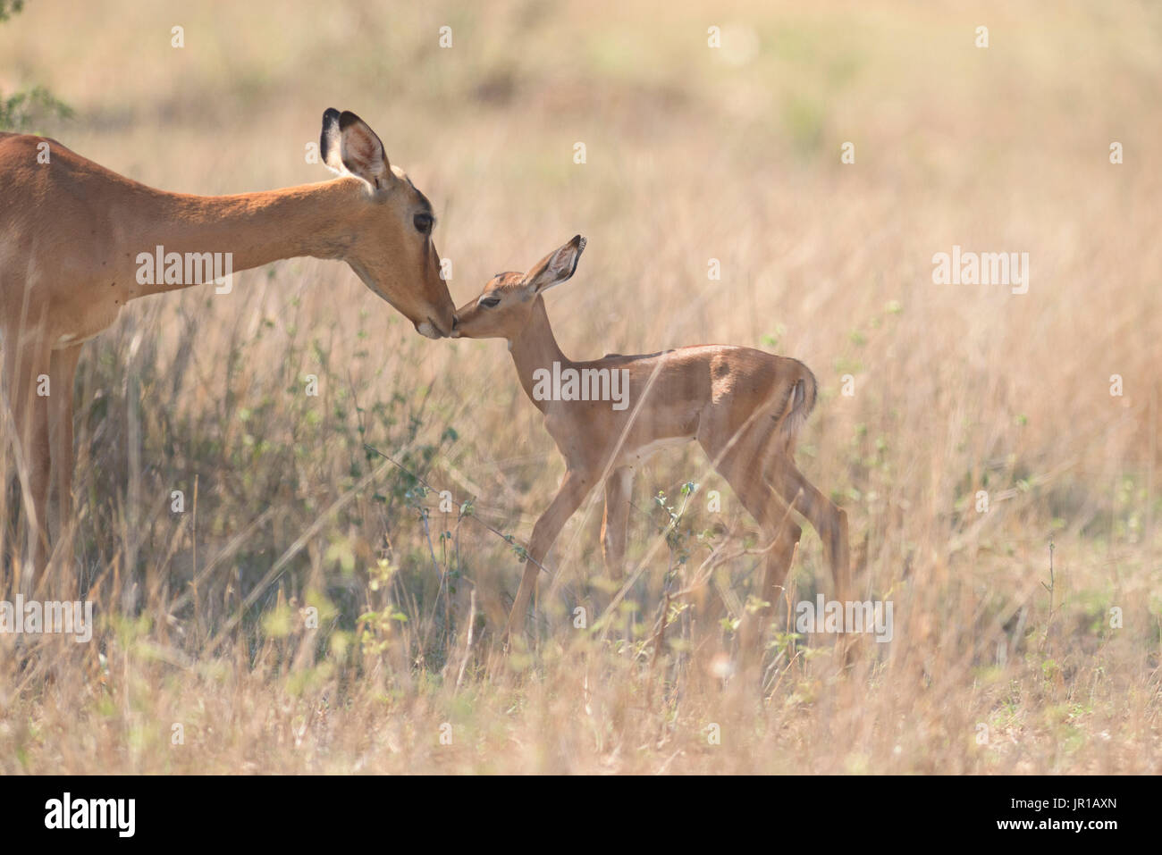 Impala (Aepyceros melampus) cuddling between mother and young, Kgalagadi, South Africa - Stock Image