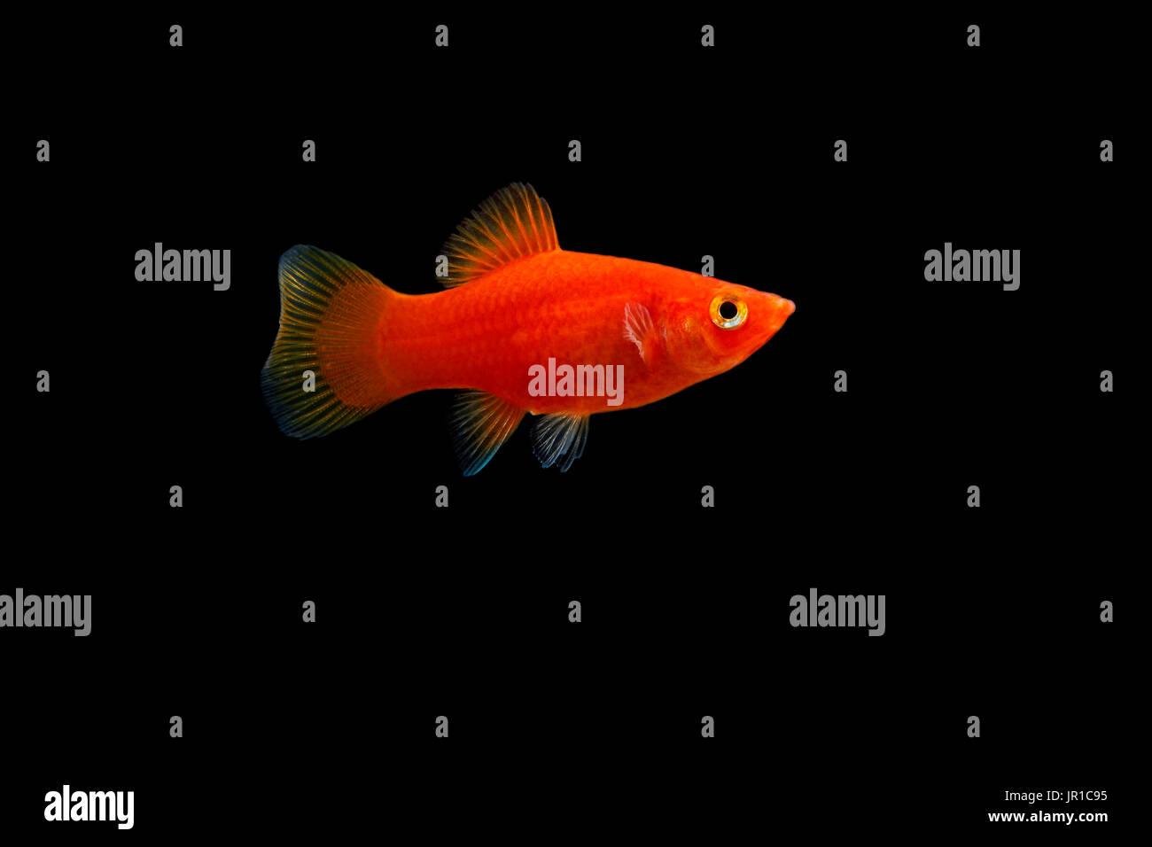 Platy Fish Stock Photos & Platy Fish Stock Images - Alamy