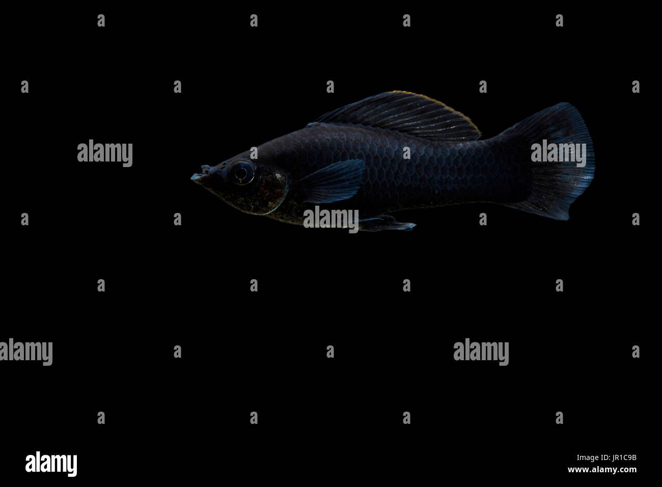 Molly, short-finned molly or common molly 'black' (Poecilia sphenops) on black background, native from central america Stock Photo