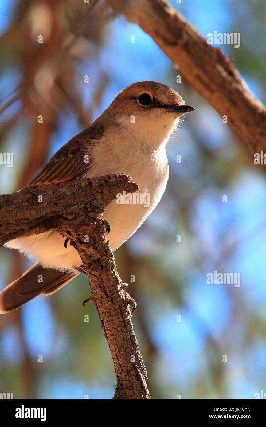 Marico Flycatcher (Melaenornis mariquensis) on a branch, Southern Africa - Stock Image