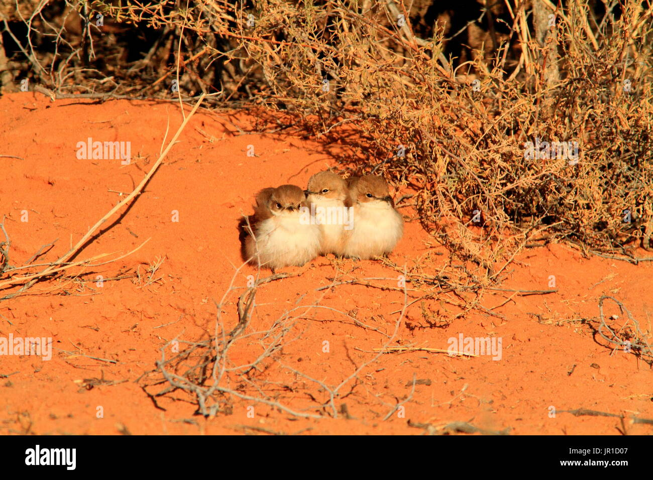 Marico Flycatcher (Melaenornis mariquensis) group on ground, Southern Africa - Stock Image