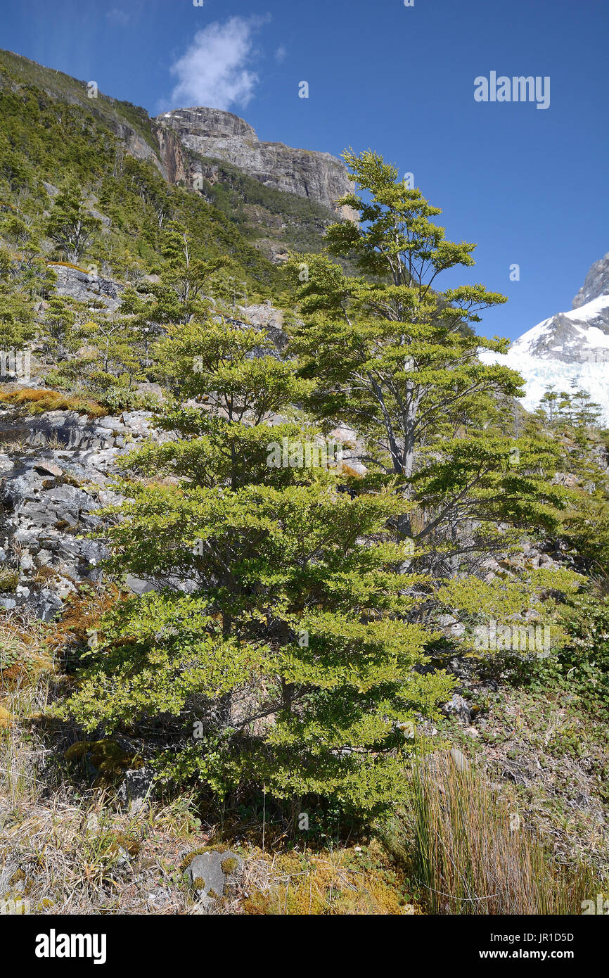 Guindo or coigue (Nothofagus betuloides), Bernardo O'Higgins, Magallanes and Chilean Antarctica, Chile - Stock Image