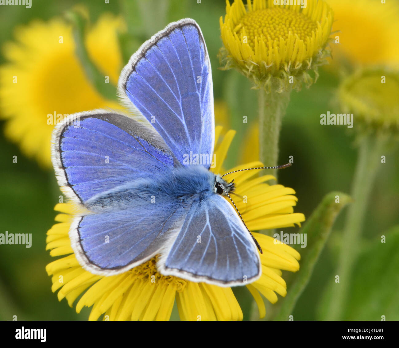 A male common blue butterfly (Polyommatus icarus) feeding with wings open on a Common Fleabane (Pulicaria dysenterica) flower. - Stock Image