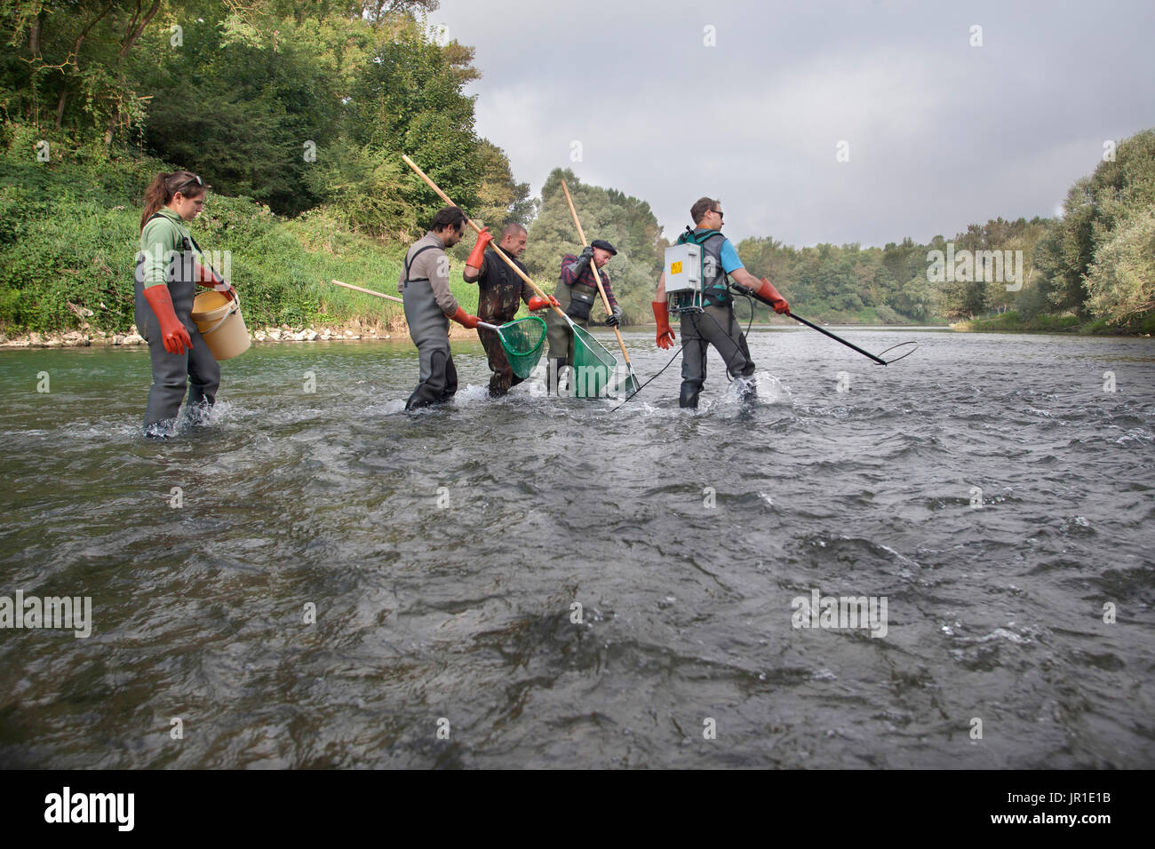 Atlantic salmon (Salmo salar) electric fishing on the Vieux-Rhin by the Saumon Rhin team, Search of the young fishes Stock Photo