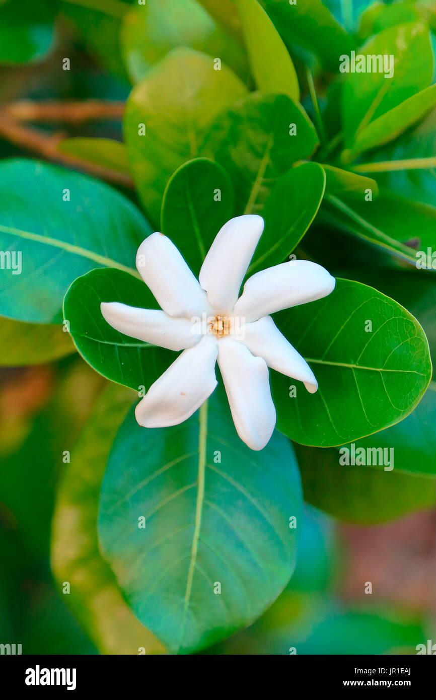 Fiore 7 Petali.Tahitian Gardenia Stock Photos Tahitian Gardenia Stock Images
