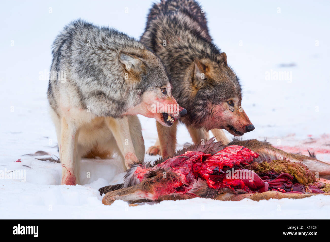 Gray wolf or grey wolf (Canis lupus) eating a deer - Stock Image
