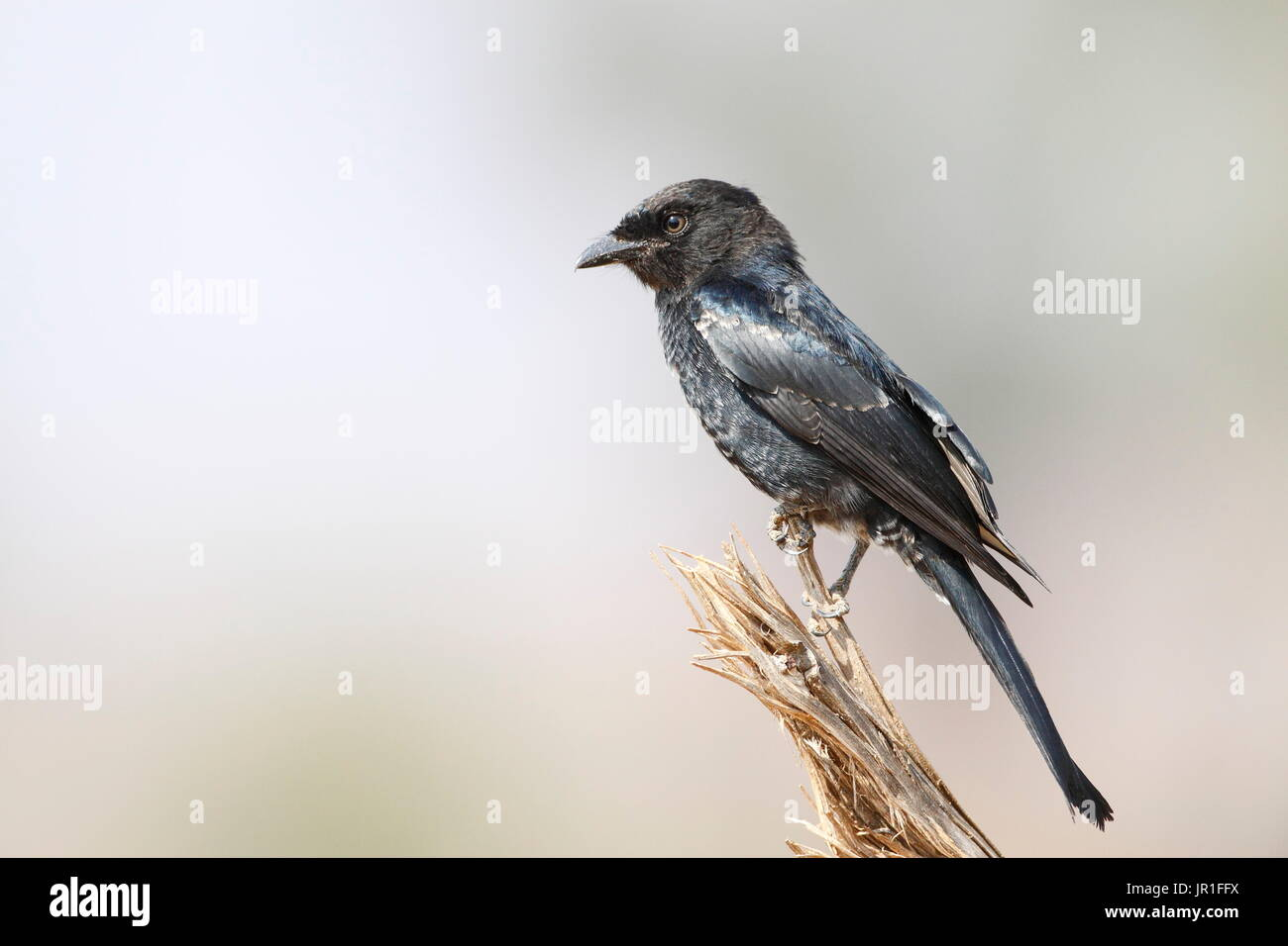 Southern black flycatcher (Melaenornis pammelaina), Samburu, Kenya - Stock Image