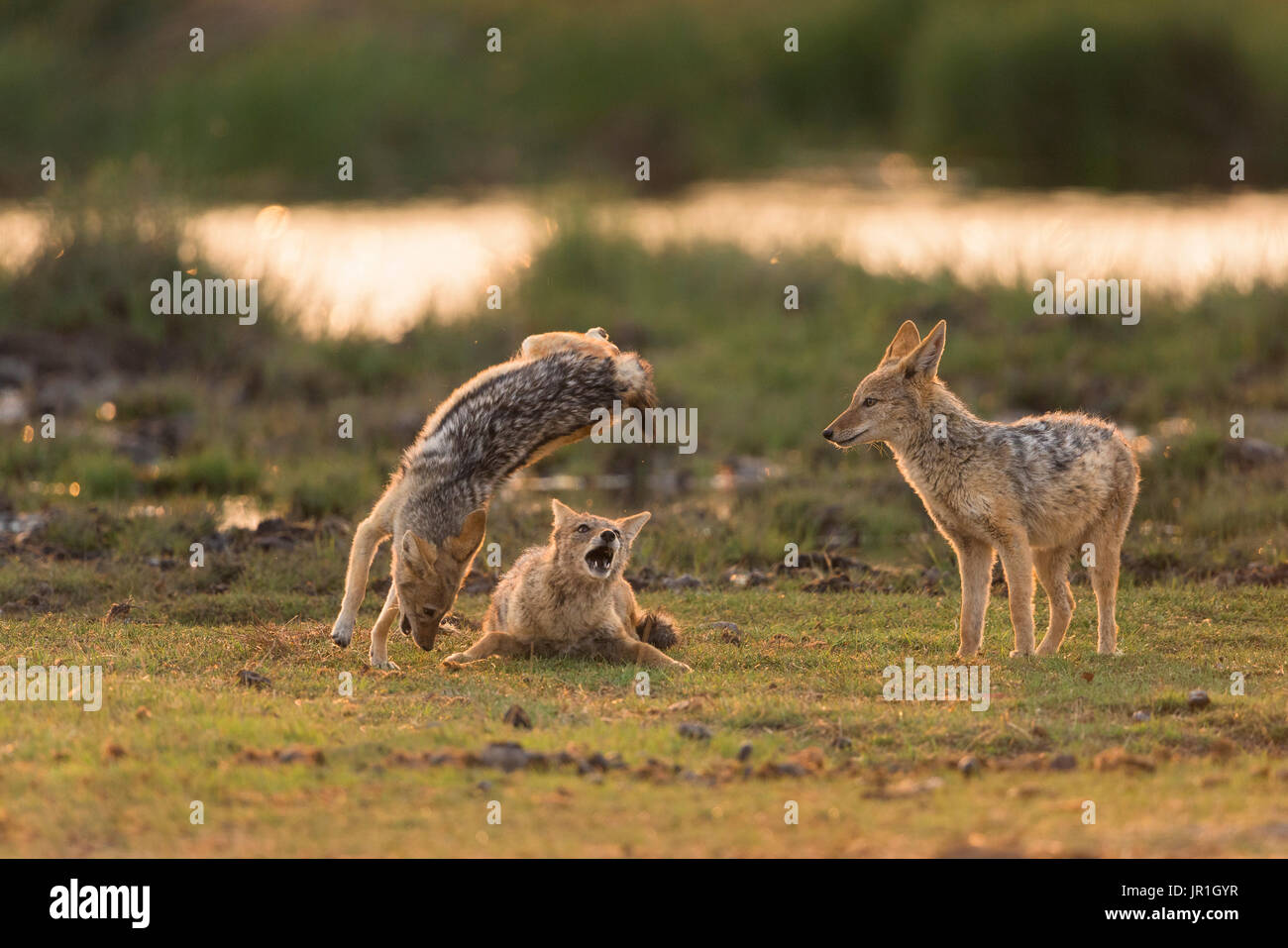 Black-Backed Jackal (Canis Mesomelas) playing at the waterhole at sunrise time - Stock Image