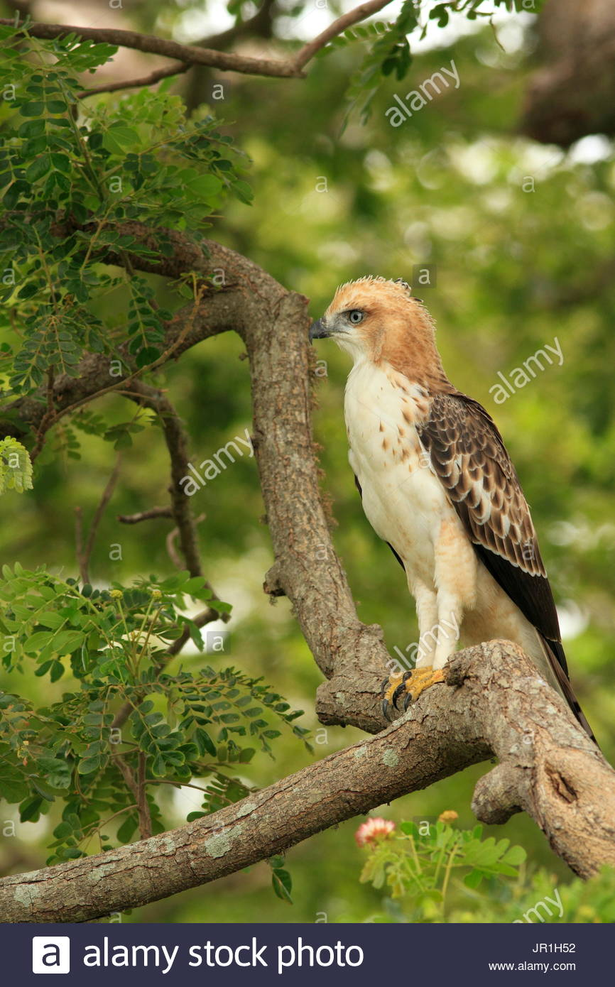 Crested Hawk-Eagle (Spizaetus cirrhatus) on a branch, Yala national park, Sri Lanka - Stock Image