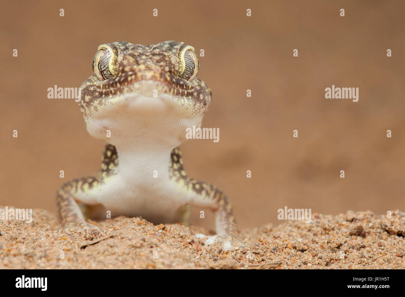 Portrait of Middle Eastern short-fingered gecko (Stenodactylus doriae), Dezfoul, Iran Stock Photo