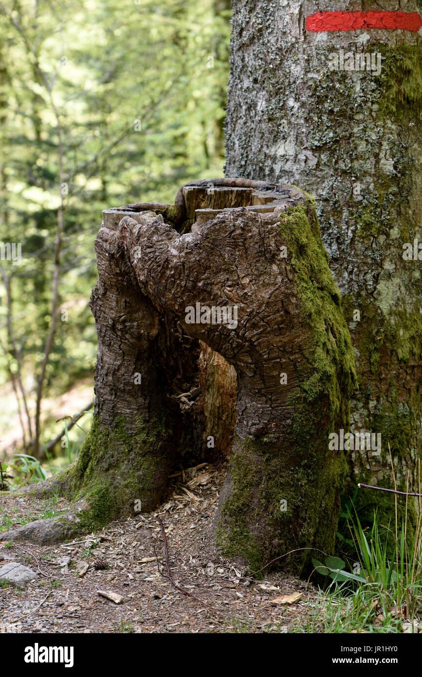 Stump in the form of pants, towards the Etang des Roseaux, Ballon d Alsace, Territoire de Belfort (90), France - Stock Image