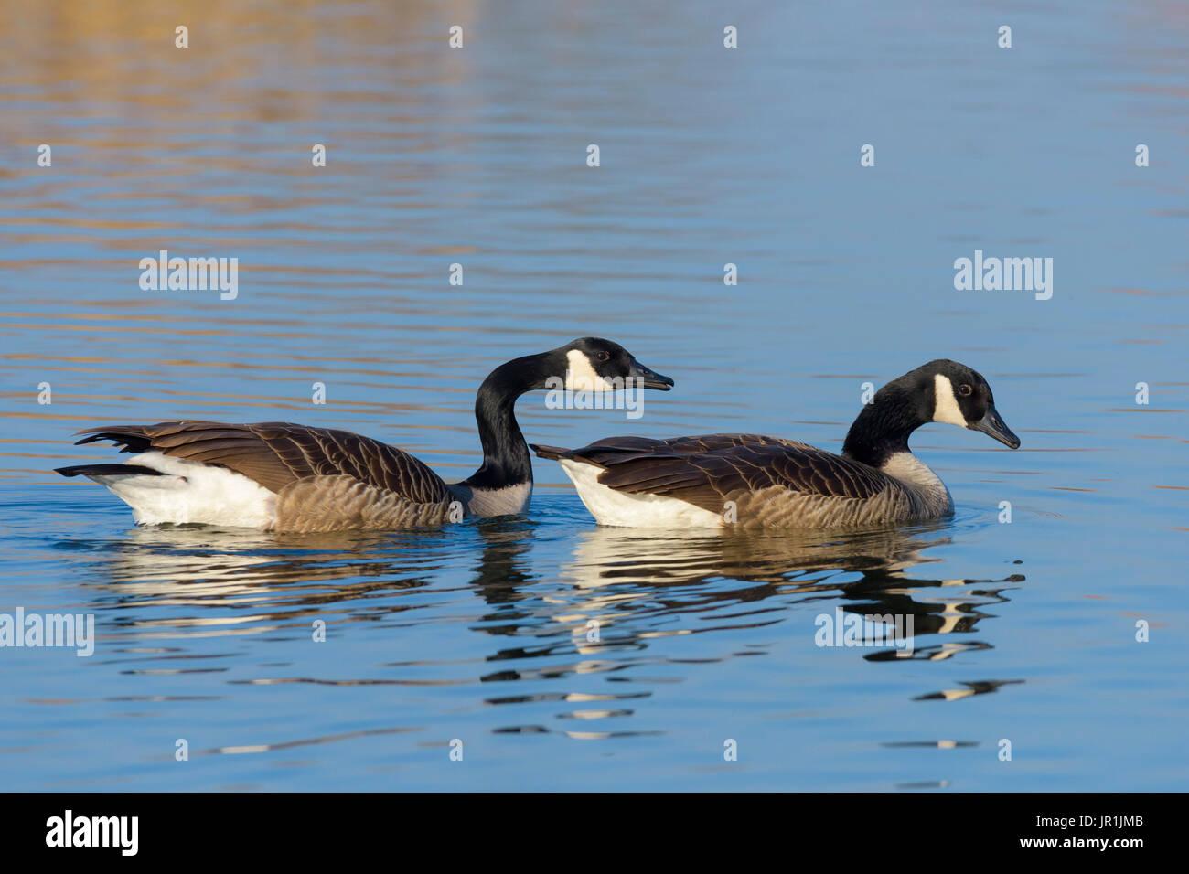 canada goose europe