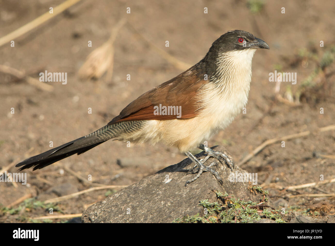 White-browed Coucal (Centropus superciliosus) on ground, Kruger NP, South Africa - Stock Image