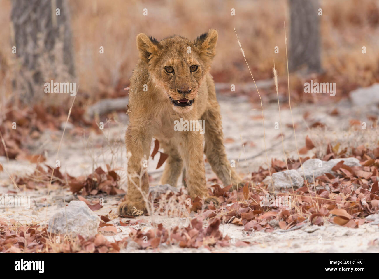 Lion (Panthera leo), cub, Namibia, Etosha national Park - Stock Image