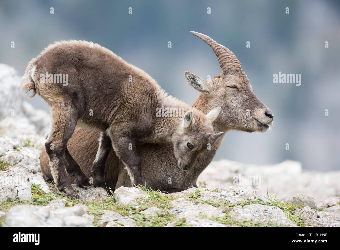 Alpine Ibex (Capra ibex) female and young cuddling, France - Stock Image
