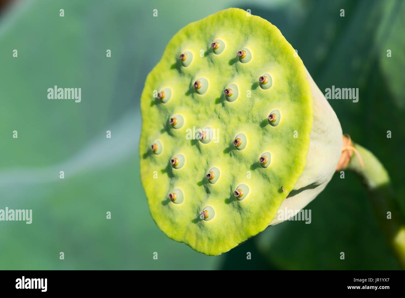 water lily seed pod flower stock photos water lily seed pod flower