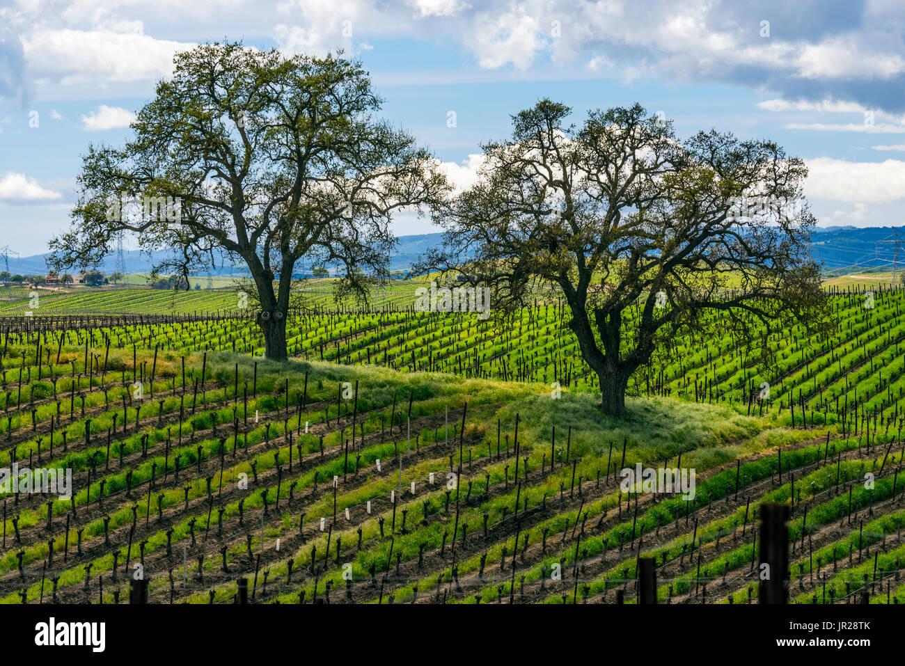 Vineyard, Paso Robles, California - Stock Image