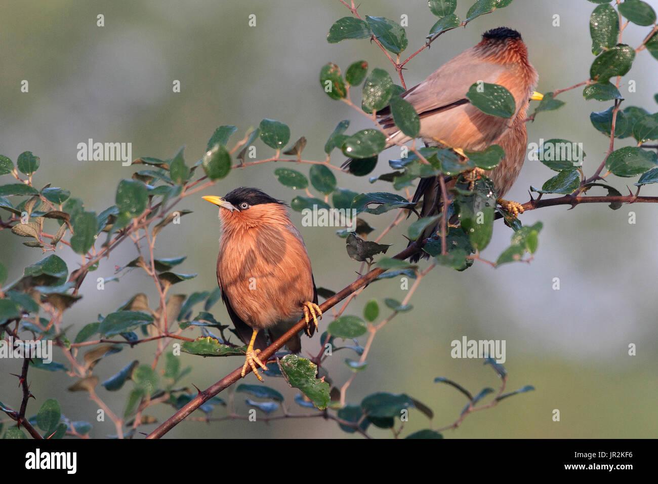Brahminy Starlings (Sturnia pagodarum) on a branch, India - Stock Image