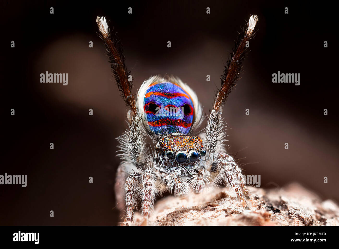 "A male Maratus speciosus ""peacock jumping spider"" performing mating courtship dance for a female spider. Stock Photo"