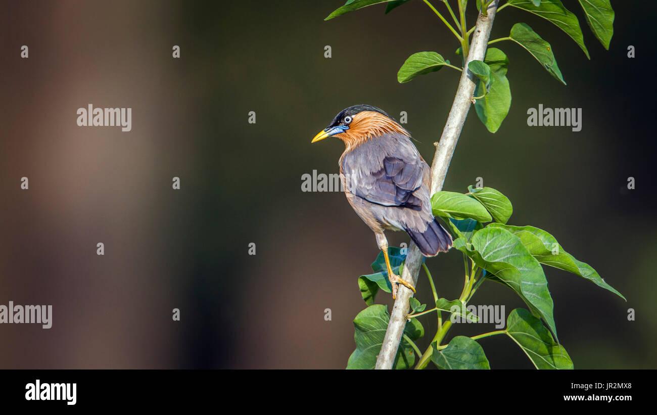 Brahminy starling (Sturnus pagodarum) on a branch, Bardia national park, Nepal Stock Photo